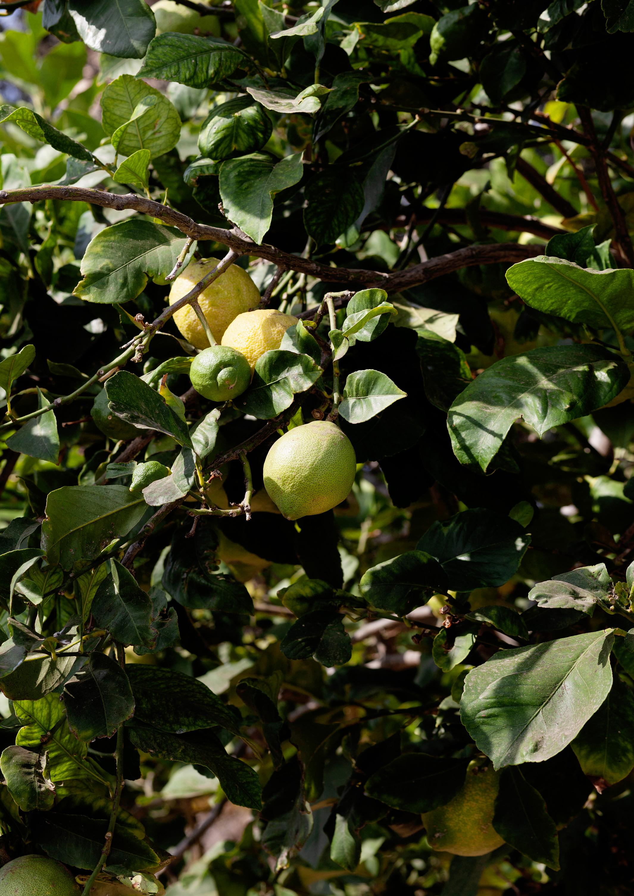 Zitronen Oliven Öl Kuchen